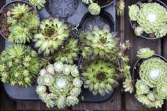 El Succulent en un pote es una decoración excelente para el hogar y la oficina Imagen de archivo
