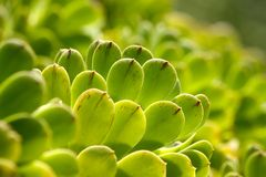 El Succulent planta textura verde Imagen de archivo