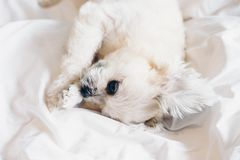 El sueño dulce del perro miente en una cama del velo blanco fotografía de archivo