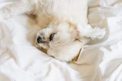 El sueño dulce del perro miente en una cama del velo blanco fotos de archivo libres de regalías