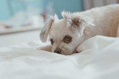 El sueño dulce del perro miente en una cama del velo blanco Imagenes de archivo