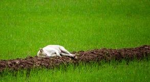 El sueño solamente, el perro perdido blanco que duerme en la calzada en el campo orgánico del arroz, mira lindo y compasión imagenes de archivo
