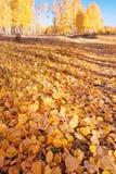 El suelo cubierto con el abedul caido se va en bosque del otoño Foto de archivo libre de regalías