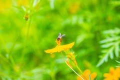 El sulphureus amarillo del cosmos florece con la pequeña abeja negra y el verde deja el fondo El sulphureus del cosmos también se Imagen de archivo