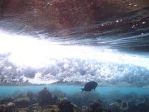 El Surgeonfish Fotos de archivo