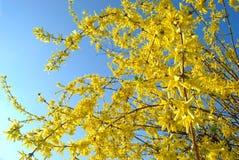 El suspenza de la forsythia es decoración floreciente en jardín de la primavera Imágenes de archivo libres de regalías