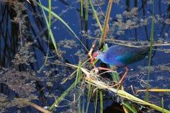 El Swamphen púrpura Foto de archivo libre de regalías