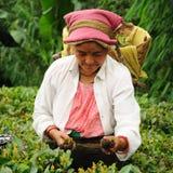 El té de la selección de la mujer hojea, Darjeeling, la India Foto de archivo