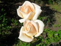 El té del arbusto subió Imagen de archivo libre de regalías