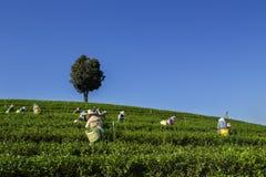 El té verde cosechó por los granjeros de té verde por la mañana imagen de archivo