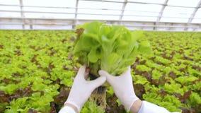 El técnico de laboratorio considera la ensalada verde que crece en premisas de la explotación agrícola almacen de metraje de vídeo