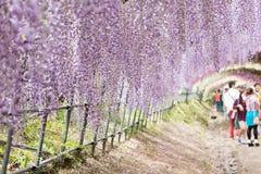 El túnel de la glicinia, el mundo fantástico de la glicinia florece por completo imagenes de archivo