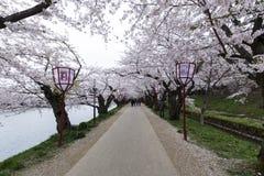 El túnel de Sakura Imagenes de archivo
