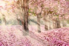 El túnel romántico de los árboles rosados de la flor foto de archivo libre de regalías