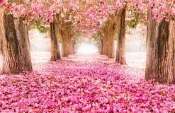 El túnel romántico de los árboles rosados de la flor imagen de archivo libre de regalías