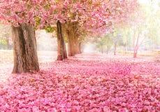 El túnel romántico de los árboles rosados de la flor fotografía de archivo