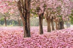 El túnel romántico de los árboles rosados de la flor imagenes de archivo
