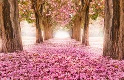 El túnel romántico de los árboles rosados de la flor imagen de archivo