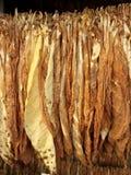 El tabaco sale de la sequedad Imagen de archivo libre de regalías