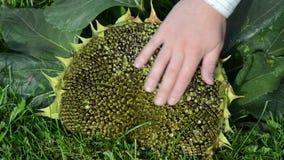 El tacto de la mano cosechó las floraciones maduras del girasol baja abajo metrajes