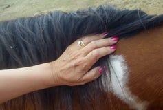 El tacto de un caballo Imagenes de archivo