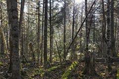 El taiga de Extremo Oriente de los árboles imágenes de archivo libres de regalías