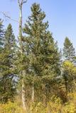 El taiga de Extremo Oriente de los árboles imagen de archivo libre de regalías