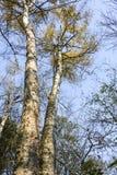 El taiga de Extremo Oriente de los árboles fotos de archivo