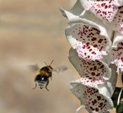 El tallo de la dedalera y manosea la abeja Fotografía de archivo libre de regalías