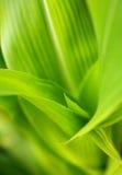 El tallo del maíz sale de macro Foto de archivo libre de regalías