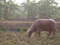 El taro del búfalo está comiendo la hierba Foto de archivo