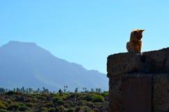 EL Teide e gatto Fotografia Stock