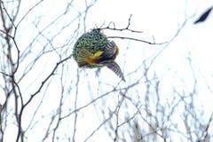El tejedor enmascarado meridional con las alas extendi? imagenes de archivo