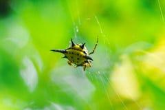 El tejedor espinoso del orbe en naturaleza puede ser encontrado por todo el mundo foto de archivo libre de regalías