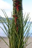 El tejer de hoja de palma ceremonial del Fijian Fotos de archivo