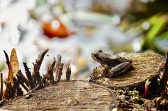 El temporaria marrón común europeo del rana de la rana de hierba en el tocón de madera imagen de archivo