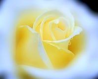 El terciopelo amarillo subió con descensos de rocío de la lluvia en nube suave Imágenes de archivo libres de regalías