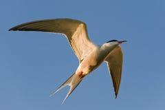El ternl común en vuelo. Imagenes de archivo