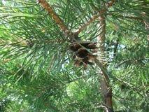 El terrón en el bosque ruso Fotografía de archivo libre de regalías