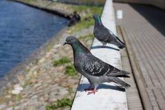 El terraplén, palomas que se sientan en la verja Foto de archivo libre de regalías