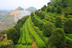 El terrase del té. Yangshuo. China. Foto de archivo libre de regalías