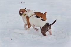 El terrier de dos Staffordshire americano está jugando en una nieve blanca Animales de animal doméstico fotografía de archivo libre de regalías
