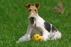 El terrier de Fox del alambre Foto de archivo libre de regalías