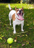 El terrier de Gato Russell quiere jugar la bola Imágenes de archivo libres de regalías