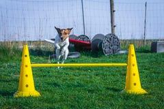 El terrier de Jack Russel salta sobre obstáculo Fotografía de archivo