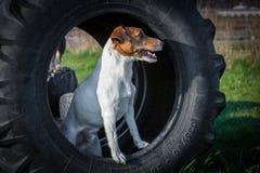 El terrier de Jack Russel se coloca en neumático Imagenes de archivo