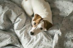El terrier de Jack Russel se relaja en casa Fotografía de archivo