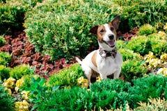 El terrier de Jack Russell Imagen de archivo