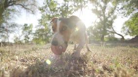 El terrier de Jack Russell ase el juguete anaranjado de la bola de los dientes almacen de video