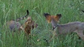 El terrier de juguete del gato y del perro de Bengala camina en hierba verde almacen de video
